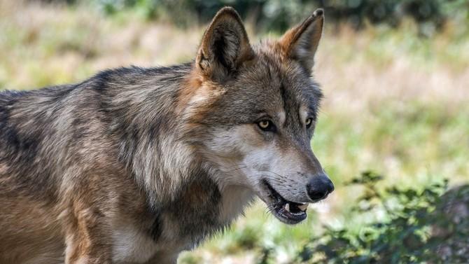 Kraj letos vyplatil už 1,8 milionu korun za škody způsobené vlky